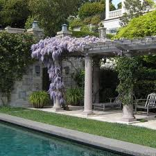 Trellis For Wisteria Wisteria Amethyst Falls Climbing Vine With Fragrant Blooms