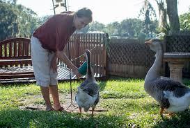 geese find home in sarasota neighborhood sarasota your observer