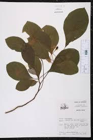 native plants of louisiana sassafras albidum species page isb atlas of florida plants