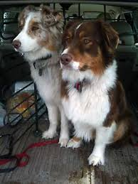 is an australian shepherd smart is the australian shepherd the right breed for you