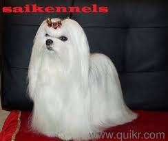 boxer dog quikr toy size maltese puppies for sale in gurgaon call us 08800612662