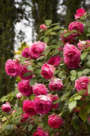 pink and roses new roses for 2015 hgtv