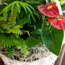 tropical indoor plants dracaenas types air purifying plants air