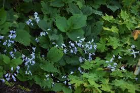 plant profile clematis u0027mrs robert brydon u0027 garden in the burrow
