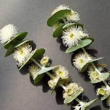 growing australian native plants from seed australian seed eucalyptus pulverulenta