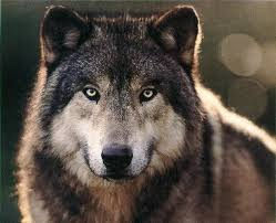 Mad Wolf Meme - 47 best wolf images on pinterest wolves wolf s rain and anime wolf