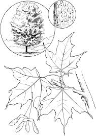 sugar maple tree coloring page summer pinterest