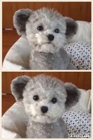 haircutsfordogs poodlemix poodles smart active and proud poodle teddy bear and pup