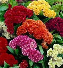cockscomb flower cockscomb seeds ebay