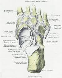 Anatomy Of The Calcaneus Anatomy U0026 Physiology Illustration