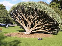 Botanical Garden Sydney by Amazing Dracaena Draco At Sydney Botanic Gardens Unforgettable