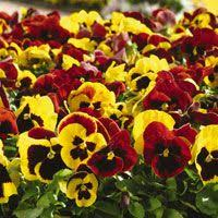 13 best pansies for fall images on pinterest pansies violets