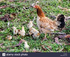 rooster hen stock photos u0026 rooster hen stock images
