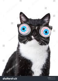 black white tuxedo cat wearing funny stock photo 376735441