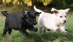 labrador retriever puppies calm