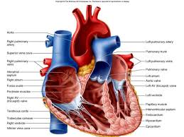 anatomy and physiology heart gallery learn human anatomy image