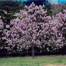 flowering trees divided by type dogwood cherry plum