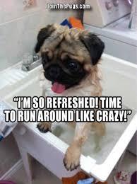 Makes No Sense Meme - happens every time still makes no sense pug meme funny cute pugs