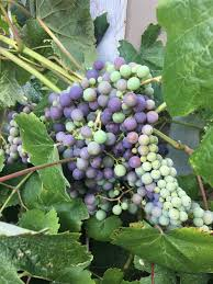 grapes plant care and collection of varieties garden org
