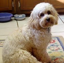 afghan hound poodle cross cockapoo cocker spaniel poodle mix spockthedog com