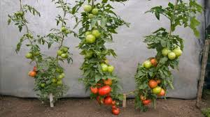 tomato gardening tips finest how to grow tomatoes and vegetables
