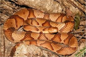 venomous snakes of eastern north america gregs natural history