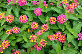 heat loving plants color all summer 11 heat tolerant plants with photos