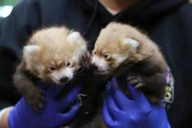 February Will Go Out Like A Lion Colorado Daily Snow Report Denver Zoo Welcomes Pair Of Male Red Panda Cubs