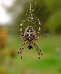 species identification what kind of spider is this biology