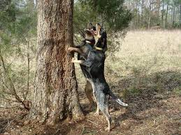 bluetick coonhound exercise bluetick coonhound coonhounds www bluetick1kennels com blueticks