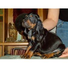 bluetick coonhound in florida evenstar hounds bluetick coonhound breeder in ohatchee alabama