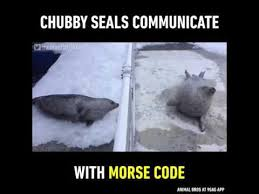 Baby Seal Meme - chubby seals communicate with morse code youtube