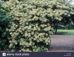 hydrangea petiolaris climbing wall arch climber garden plant