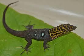 wild tobago meet the lizards of tobago u0027s main ridge