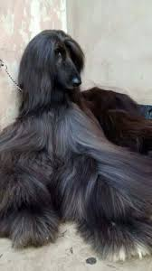 afghan hound breeders europe afghan hound animals pinterest afghan hound animals and