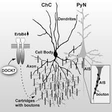 chandelier cells regulation of chandelier cell cartridge and bouton development via