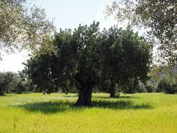 olive tree u2013 bioinsecticidas naturales