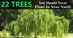 these 22 trees you should never plant in your yard