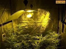 chambre de culture 1m2 culture interieur de cannabis du growshop alchimia