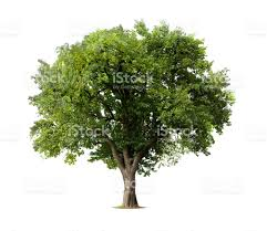 apple tree without flowers or fruit isolated on white stock photo