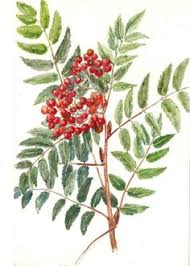 rowan tree with berries for your design rowan and berry