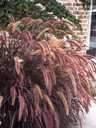 plant purple grass like an annual