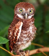 absolutely amazing facts about the cute little elf owl