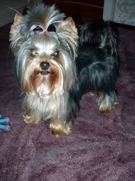 teacup yorkie haircuts pictures explore yorkie haircuts pictures and select the best style for