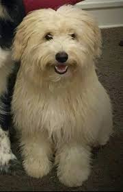 american eskimo dog poodle mix eskapoo dog breed information and pictures
