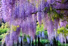 glycine wisteria branches brush hd wallpaper