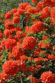 Fertilizer For Flowering Shrubs - mandarin lights azalea outdoor dreams pinterest orange