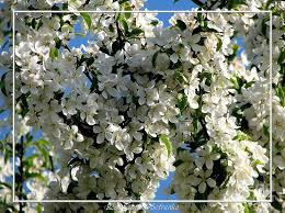 white flowering crabapple tree photograph by santuci sofranko