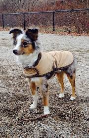 australian shepherd miniature 536 best my heart u0027s desire images on pinterest aussies