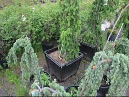 Ornamental Weeping Spruce and Cedar Trees Available in Pots